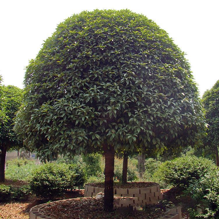 丛生朴树播种